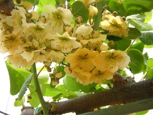 アップルキウイの花