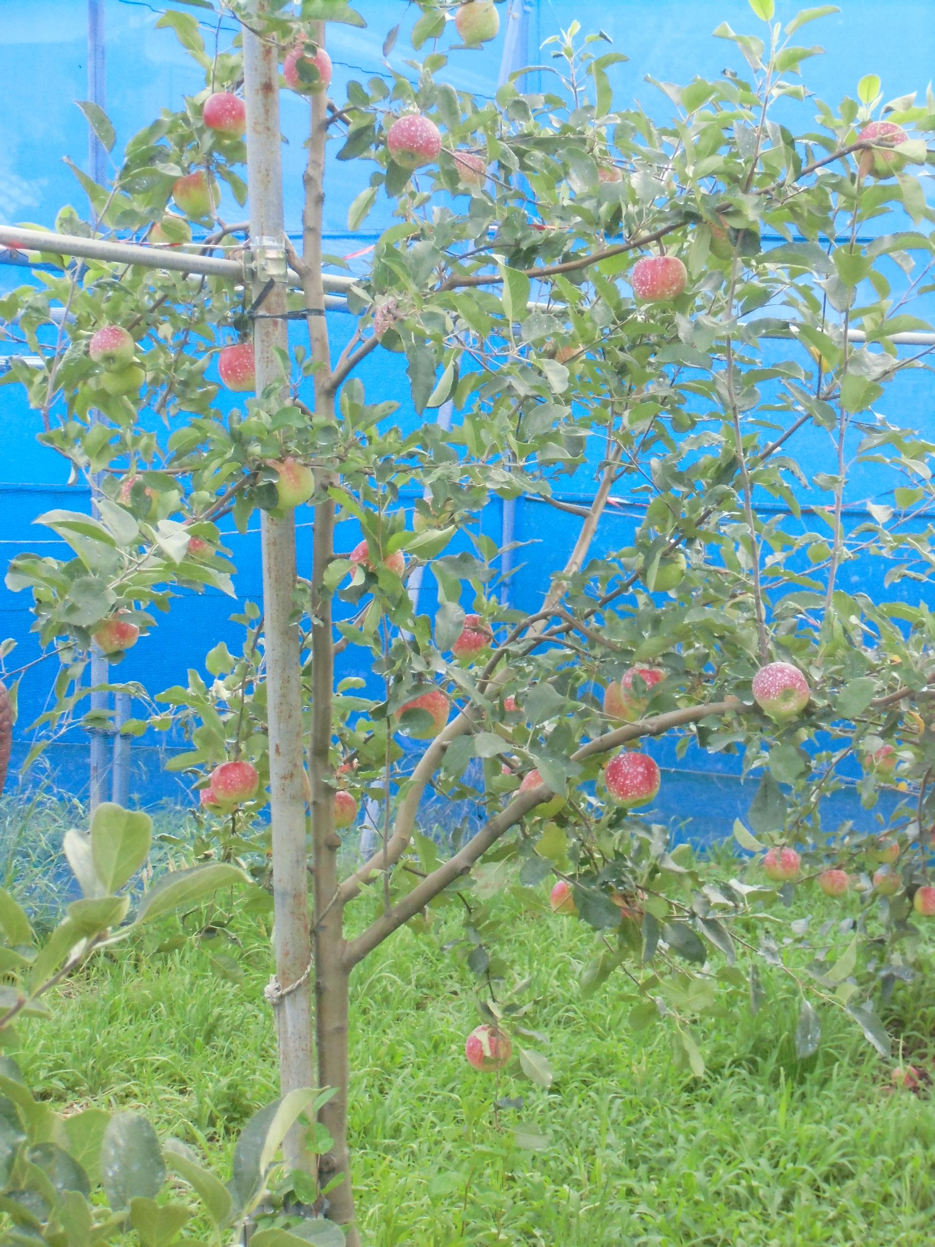 横浜リンゴの今年