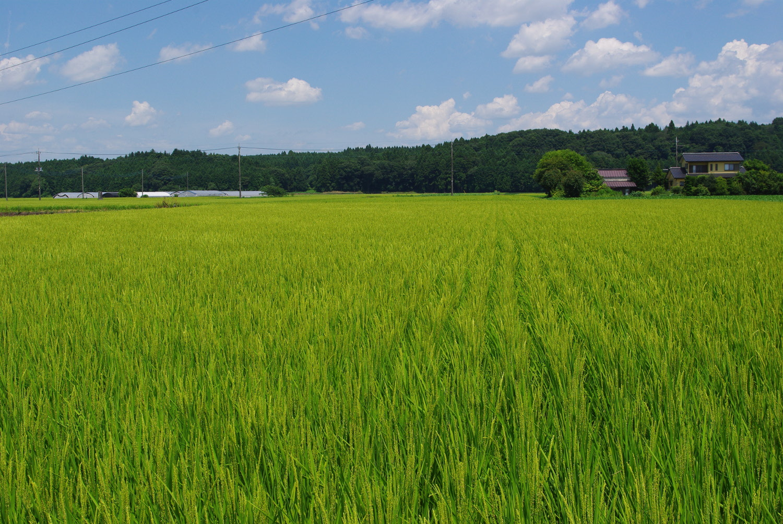 混植栽培のほ場。