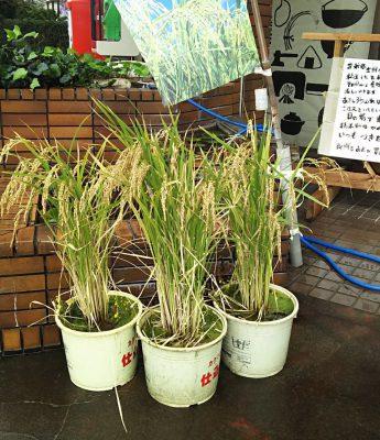 稲は凄い作物