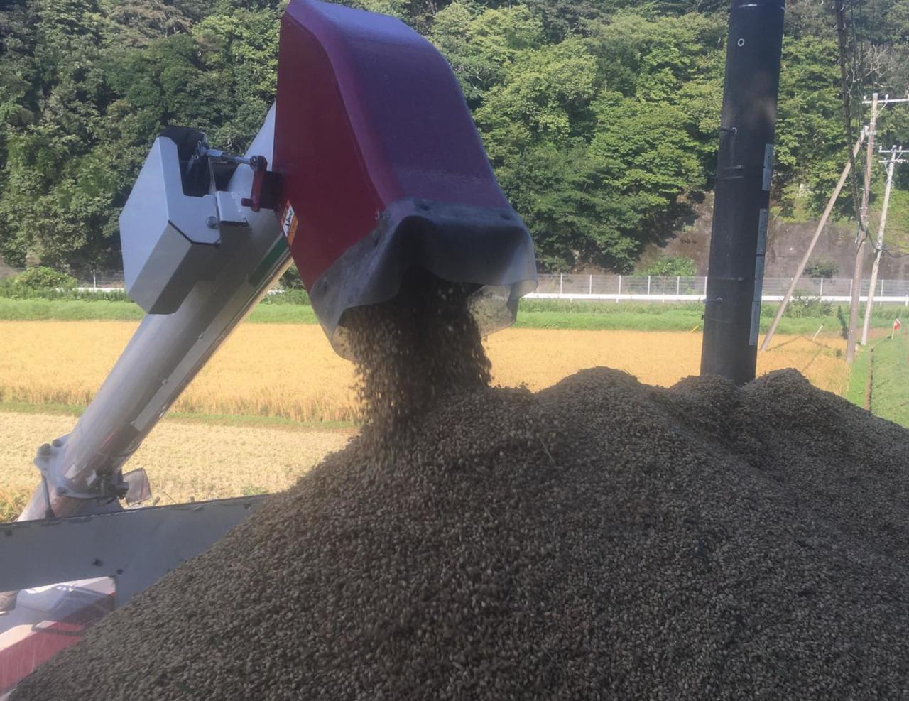 令和3年のカミアカリ収穫